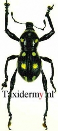 Pachyrrhynchus sp8
