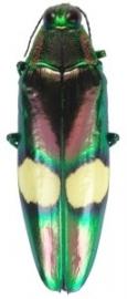 Crysochroa saundersii