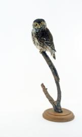 Dwerguil(Glaucidium passerinum)