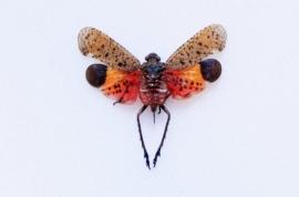 Homoptera penthicodes pulchella