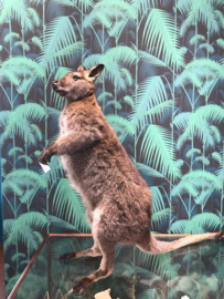 Bennettwallaby   (Macropus rufogriseus)