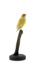 Gouldamadine (Chloebia gouldiae)
