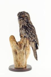 Uilnachtzwaluw ( Podargus strigoides)