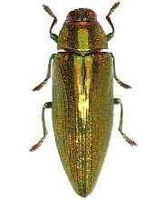 chrysochroa purpureiventris marinae