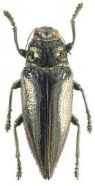 Chrysodema elongata