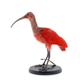 Rode ibis (Eudocimus ruber)