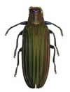 Demochroa lacordaire