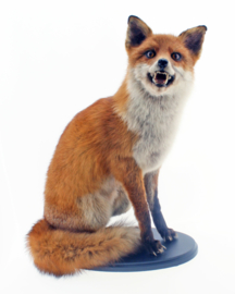 Vos ( Canis vulpes )