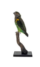 Meyers papegaai (Poicephalus meyeri)
