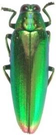 Crysocroa kaupii