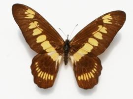 Graphium latreillianus
