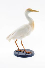 Koereiger( Bubulcus ibis )