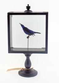 Blauwe suikervogel ( Cyanerpes cyaneus)
