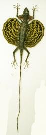 vliegend draakje (Draco volans) geel