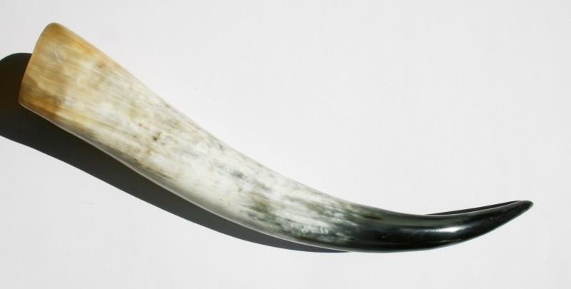 Longhoorn 50 cm