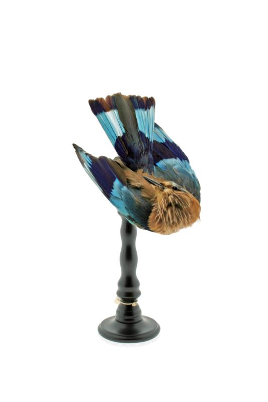 Blauwbuik scharerrelaar ( 1890)