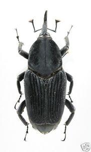 Rhynchophorus palmarum