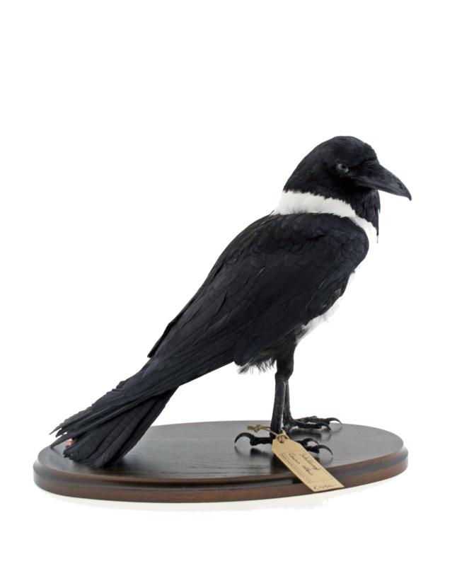 Schildraaf ( Corvus albus)