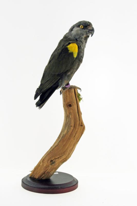 Ruppels papegaai (Poicephalus rueppellii)