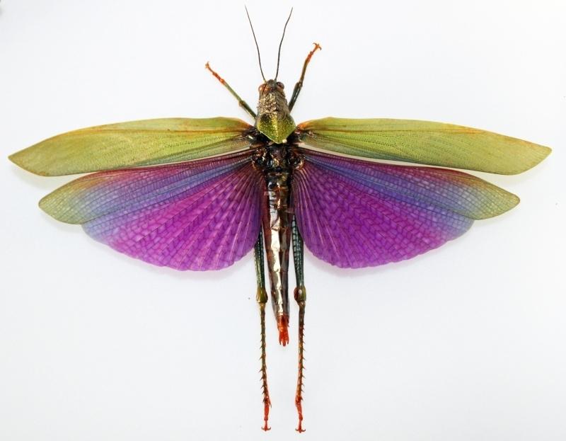 Titanacris albipes 18cm