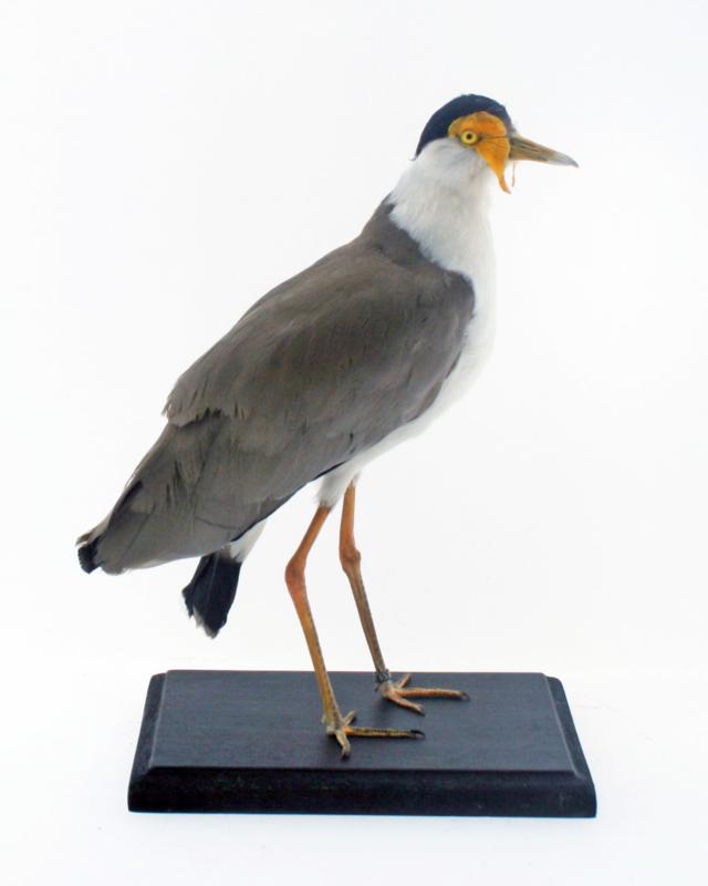 Maskerkievit ( Vanellus miles )