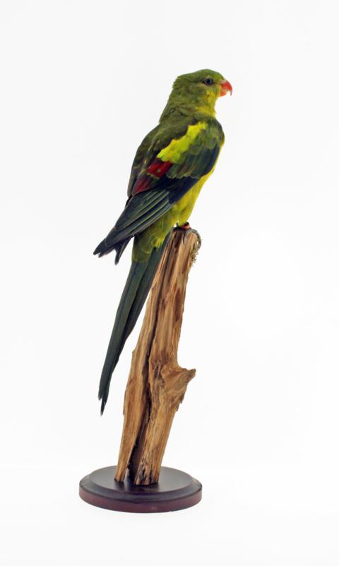 Bergparkiet (Garrulax leucolophus)