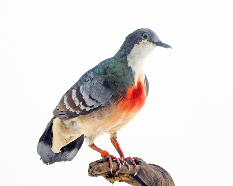 Dolksteekduif (Gallicolumba luzonica )