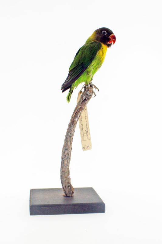 Zwartmasker dwergpapegaai (Agapornis personatus)