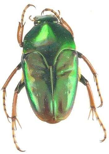 Lomaptera geelvinkiana