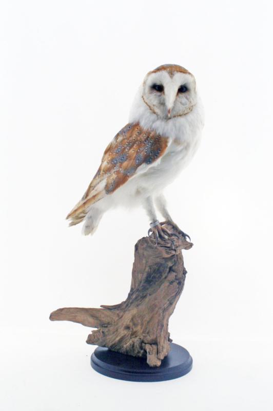 Kerkuil(Tyto alba)