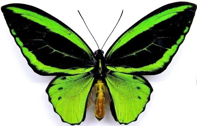Ornithoptera priamus poseidon (man)