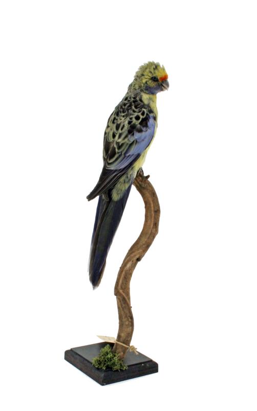 Geelbuik rosella (Platycercus caledonicus)
