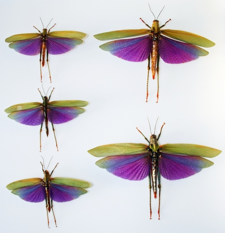 Titanacris albipes 12 cm