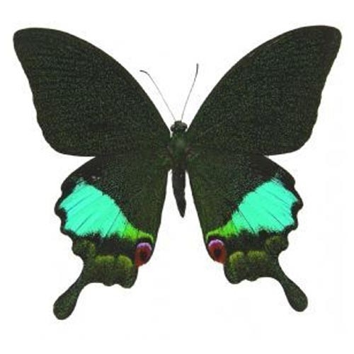 Papilio Karna Karna