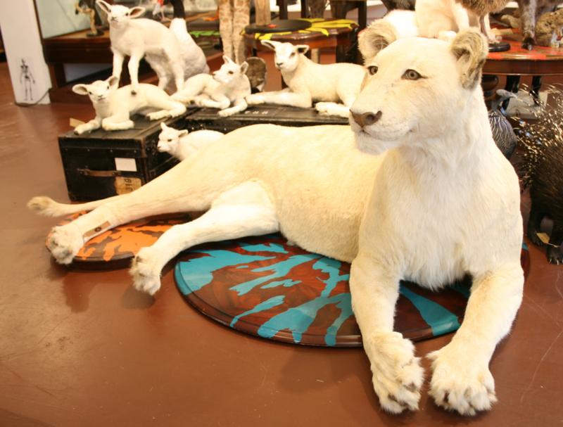 Witte leeuw ( Phantera leo)