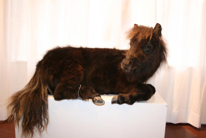 Shetland veulen  (Equus ferus caballus)