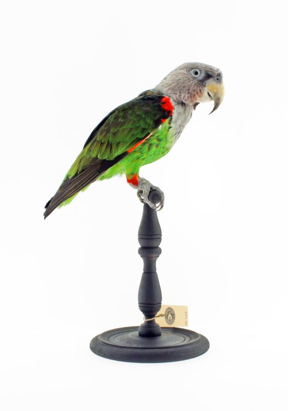 Kaapse papegaai(Poicephalus robustus)