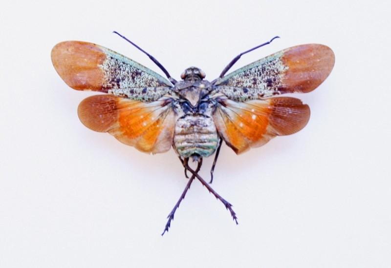 Homoptera penthicodes farinosa tulia