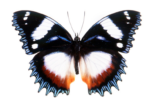Hypolimnas dexithea