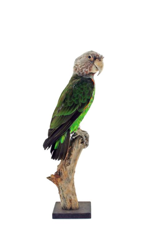Kaapse papegaai (Poicephalus robustus)