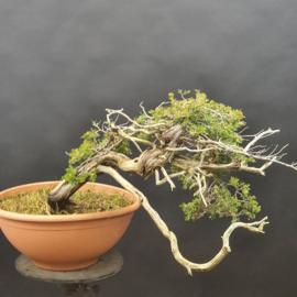 Juniperus Sabina