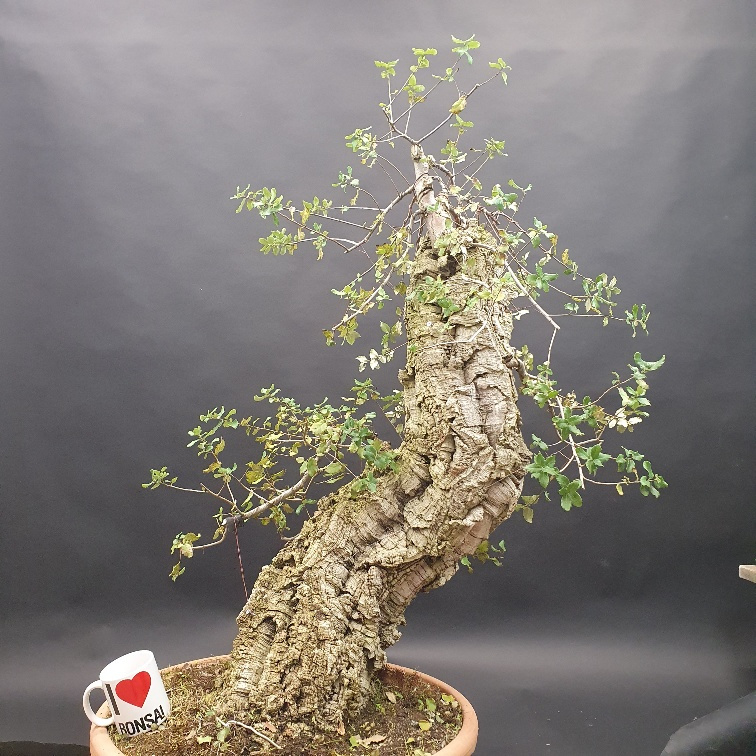 Quercus Suber