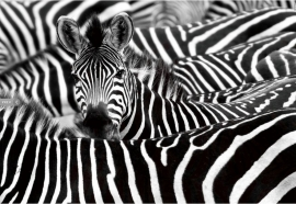 Zebra Safari - Glas Art