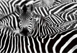 Zebra Safari - Glas Art