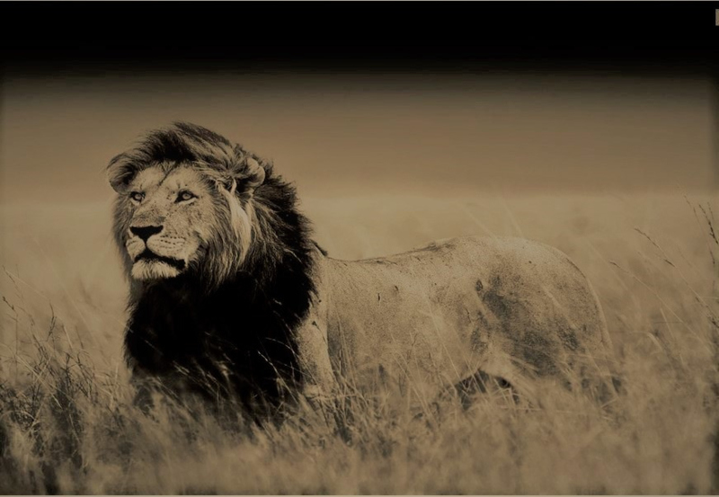 Leeuw Safari - Glas Art