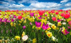 Tulpen (50x70cm)