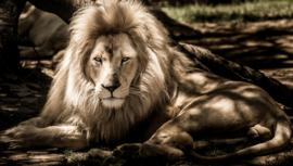 Leeuw (50x70cm)