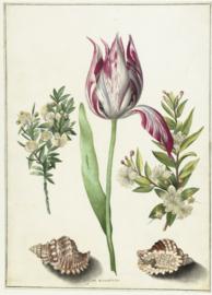 Tulp Maria Sibylla Merian (43x60cm)