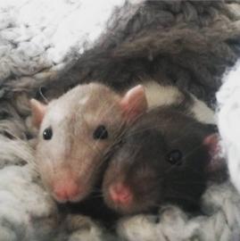 #ratjes #liefde #kruimel #spotty