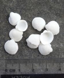 Witte Kokkels - klein